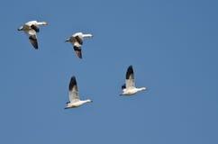 4 гусыни снега летая в голубое небо Стоковые Изображения RF