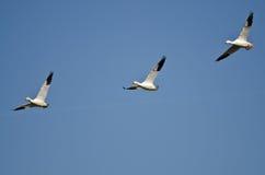 3 гусыни снега летая в голубое небо Стоковое Изображение RF