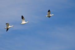 3 гусыни снега летая в голубое небо Стоковые Фото