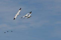 3 гусыни снега летая в голубое небо Стоковое Изображение