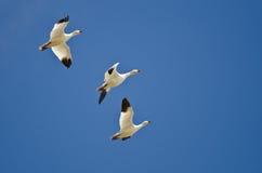 3 гусыни снега летая в голубое небо Стоковые Изображения RF