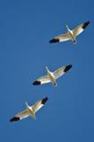 3 гусыни снега летая в голубое небо Стоковые Фотографии RF