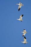 4 гусыни снега летая в голубое небо Стоковое Фото