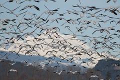 Гусыни снега Стоковое Изображение