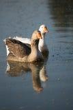 2 гусыни совместно в воде Стоковая Фотография RF