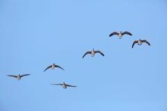 гусыни стаи полета Канады Стоковое фото RF