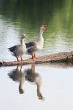 2 гусыни стоят на журнале и отраженный в воде Стоковые Фото