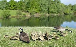 Гусыни с их гусятами младенца Стоковое фото RF