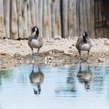 2 гусыни с отражением в воде Стоковое Изображение RF