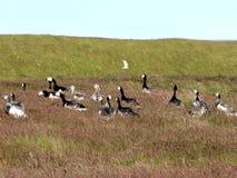 Гусыни щипцев Исландии на траве 2017 Стоковые Изображения RF