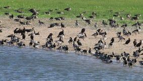 Гусыни щипцев и большие бакланы вдоль берега озера, Голландии сток-видео