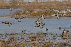 гусыни щипцев приземляясь в болото зимы после полета стоковое фото rf
