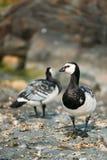 2 гусыни щипцев, птицы моря Leucopsis чёрной казарки одичалые с белой чернотой Стоковые Изображения