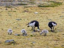 Гусыни щипцев с гусятами - арктикой, Шпицбергеном Стоковые Изображения RF