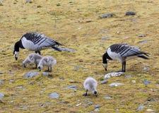 Гусыни щипцев с гусятами - арктикой, Шпицбергеном Стоковые Изображения