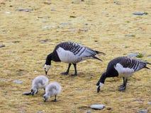 Гусыни щипцев с цыпленоками - арктикой, Шпицбергеном Стоковые Фото