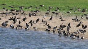Гусыни щипцев, гусыни greylag и большие бакланы, Голландия сток-видео