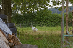 гусыни Стоковая Фотография RF