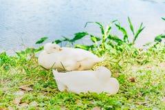 Гусыни Embden охлаждая в парке озера Стоковые Изображения