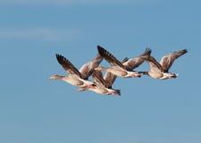 Гусыни Graylag в полете Стоковая Фотография
