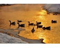 Гусыни Graylag плавая в заходе солнца Стоковые Изображения
