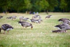 Гусыни Greylag в парке Стоковая Фотография