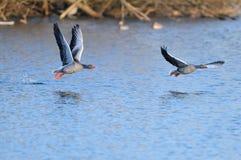 Гусыни Greylag в полете Стоковое Изображение