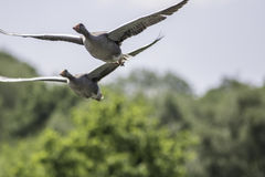 Гусыни Greylag в полете Изображение природы птицы проникать одичалое с c Стоковые Изображения RF