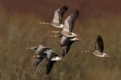 Гусыни Greylag в полете Стоковое Фото