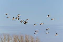 Гусыни Greylag в полете Стоковое Изображение RF