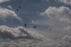 Гусыни Greylag в полете Стоковые Изображения RF