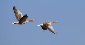 Гусыни Greylag летания Стоковые Фото