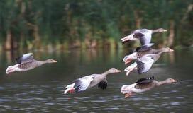 Гусыни Greylag летания Стоковое Изображение