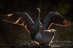 Гусыни Greylag защищая гусят Стоковая Фотография