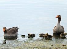 Гусыни Greylag и гусята плавая Стоковые Фотографии RF