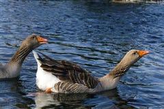 Гусыни Greylag на озере Стоковая Фотография RF