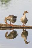 2 гусыни Greylag на пруде и отражают Стоковая Фотография RF