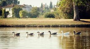 Гусыни Greylag плавая в строке в озере Стоковое фото RF