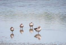 Гусыни Greylag стоя в озере Стоковое Фото