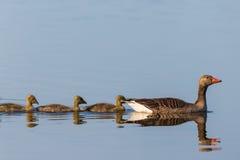 Гусыни Greylag с гусятами в ряд Стоковое фото RF