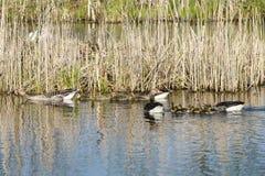Гусыни Greylag с гусятами Стоковая Фотография