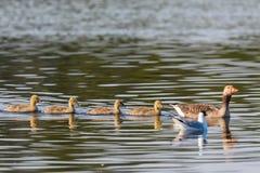 Гусыни Greylag с молодыми птицами Стоковые Изображения RF