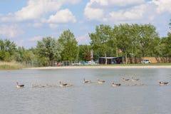 Гусыни Greylag с отродьем в озере - Австрии Стоковое фото RF
