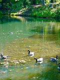 гусыни ontario ottawa Канады Стоковое Фото