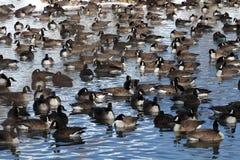 гусыни ontario ottawa Канады Стоковые Фотографии RF