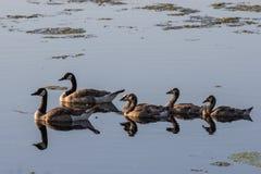гусыни ontario ottawa Канады Стоковая Фотография