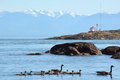 гусыни ontario ottawa Канады Стоковое Изображение RF
