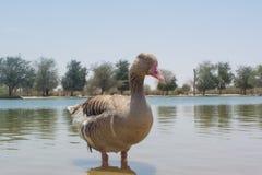 Гусыня большого коричневого цвета зрелая стоя в озере Стоковая Фотография