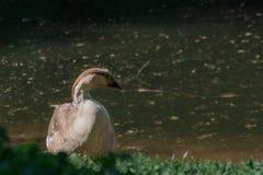Гусыня Брауна сидит на береге сельского пруда окруженного зеленой тра стоковые фотографии rf