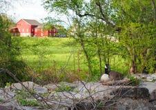 Гусыня вложенности на пастырской обрабатываемой земле Стоковое Изображение RF